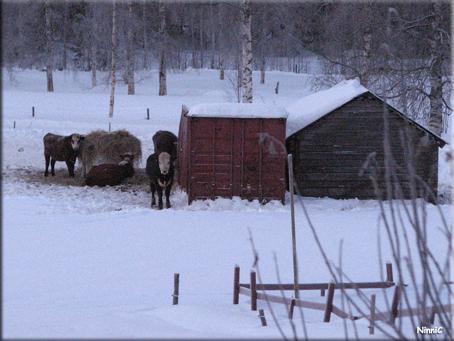 110126 Våra närmsta grannar - tjurarna.