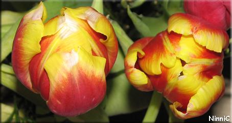 Röd-gula tulpaner.