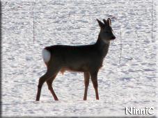 110209 Ett rådjur på sjön i Forsa.