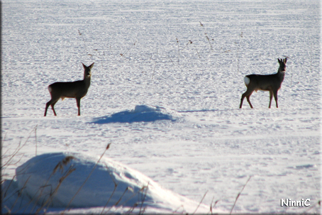 110209 Rådjur på sjön i Forsa.