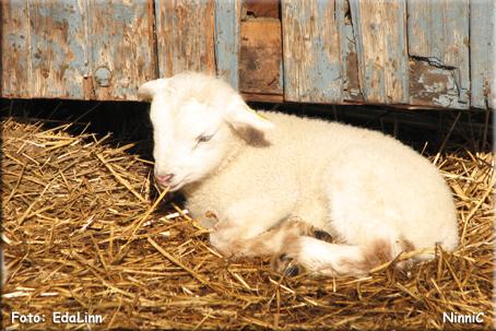 Ett litet lamm på Skästra marknad.