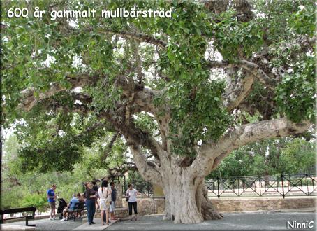 600 år gammalt mullbärsträd.