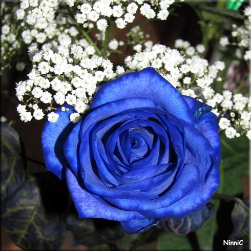 Christers blå ros.