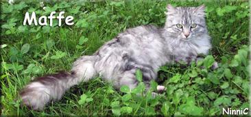 Maffe njuter av svalkan i gräset.
