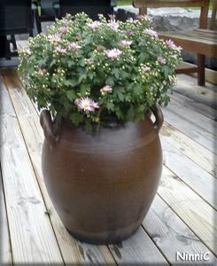 Bollkrysantemum som vi fick av Lena.
