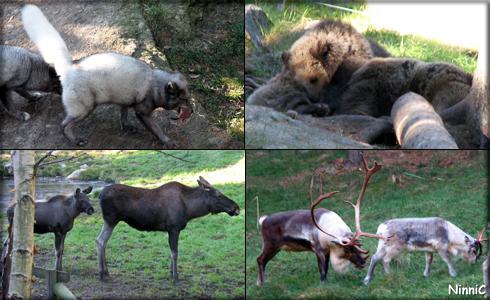 Fjällräv, björnar, älgar och renar på Järvzoo.