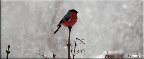 Domherre i snöväder.