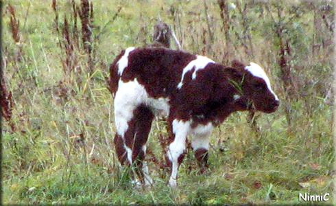 121001 En ny liten kalv.