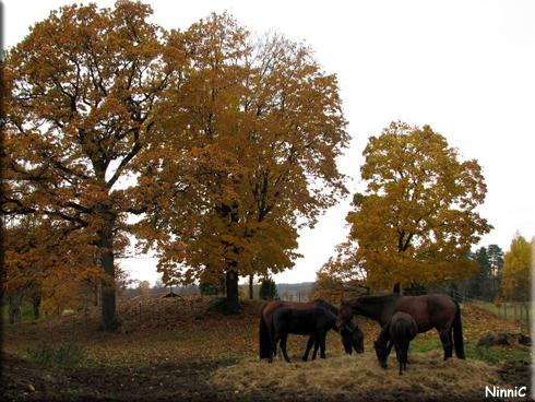 121021 Hästar vid stallet i Vrigstad.