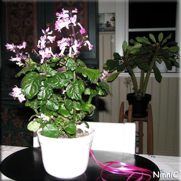 121122 Blomman vi fick av Lena är en släkting till Novemberljus.