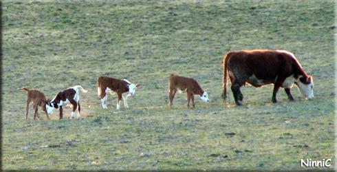 130506 Kalvar på grönbete... och en ko