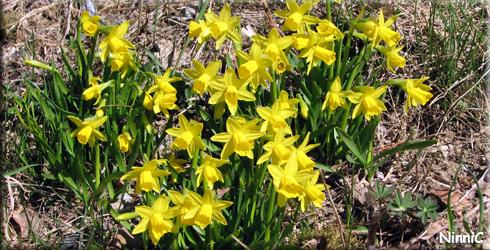 130506 Påskliljorna blommar hos oss