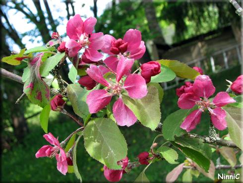 130530 Apeln blommar