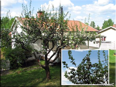 130530 Äppelträden blommar