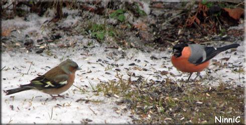 140407 Bofinken och domherren är hungriga då snön kommit igen
