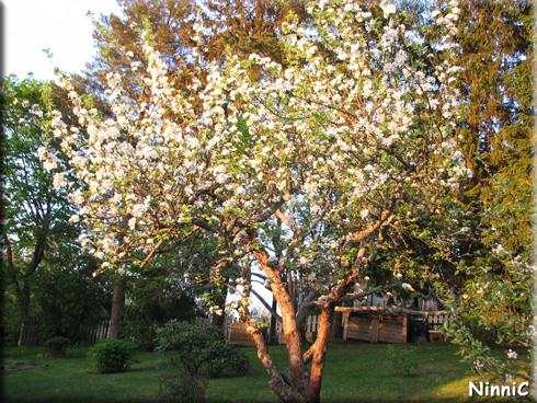 Äppelträdet i kvällssol