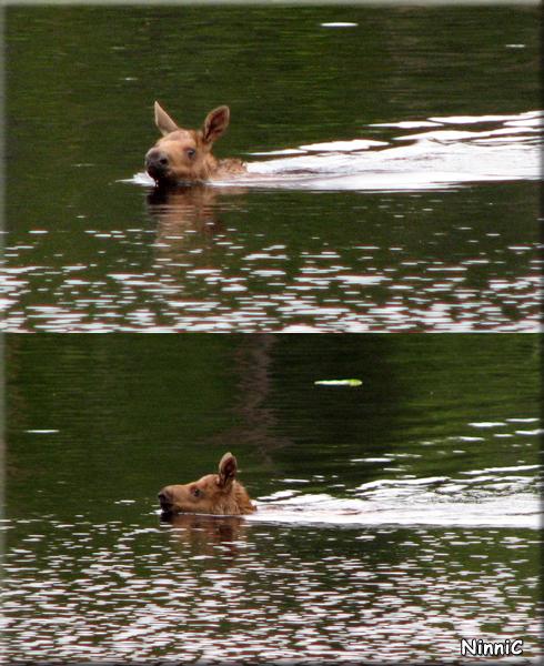 Den simmande älgkalven