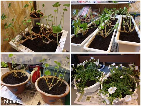 Plantering av sommarblommor
