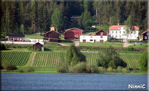 Tallåsens jordgubbsodling på andra sidan sjön