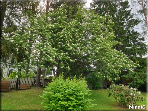 Rönnbärsträdet