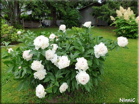 Vår buske med vita Pioner