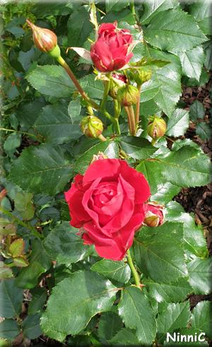 Rosorna har börjat blomma